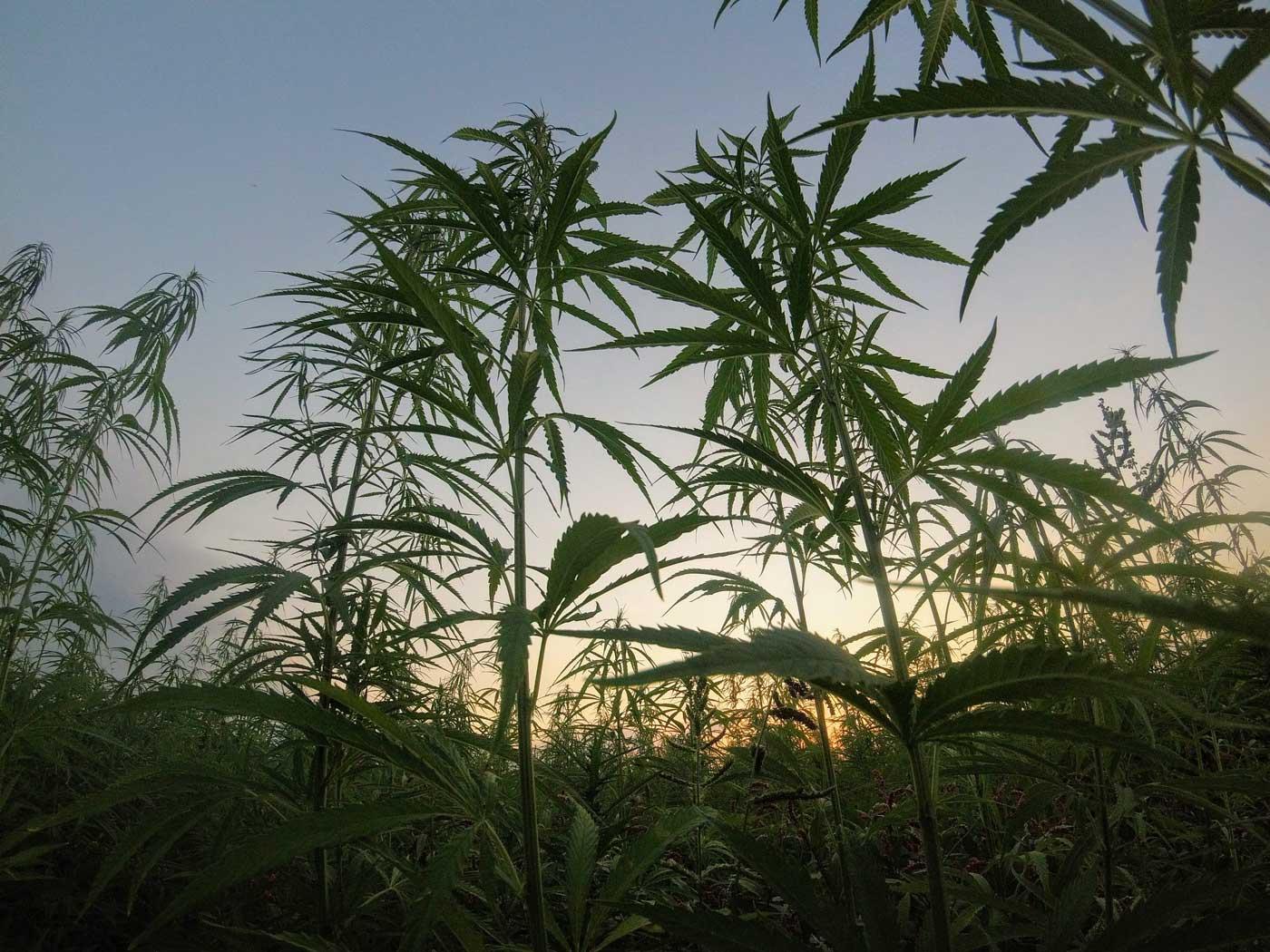 Cannabis plants growing in field